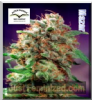Dutch Passion Mazar Female 5 Seeds